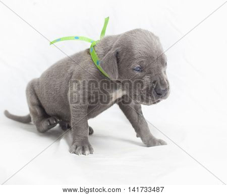 Grey purebred Great Dane puppy starting to move away