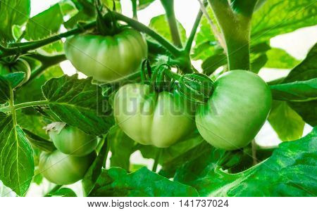 Green tomatoes in the greenhouse . Agriculture concept.