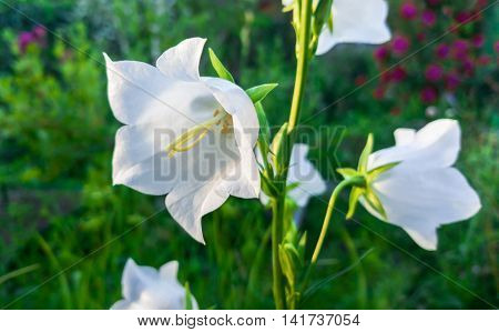 White beautiful flower harebell on nature background.