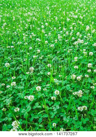Medicinal plant, white clover field. Natural background