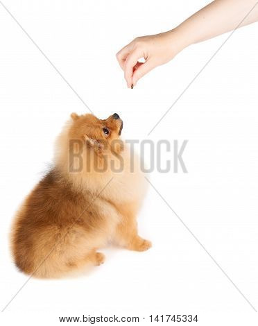 Woman gives a piece of dog food to red Pomeranian spitz