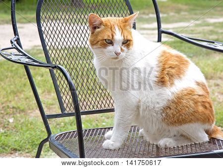 Domestic cat sitting on the chair in the garden