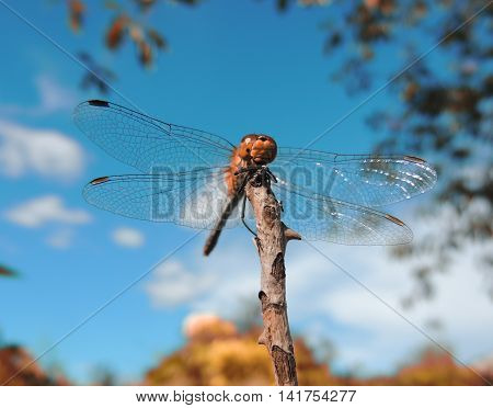 A huge beautiful dragonfly (flying adder) on thin branch