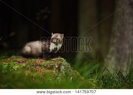 Kuna Skalní v svém přirozeném prostředí - les