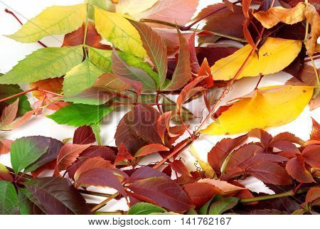 Multicolor autumn leafs on a white background