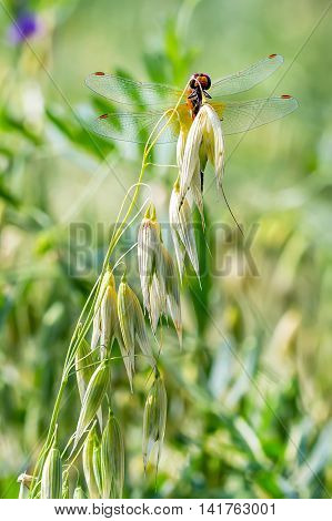 Oats seed (lat. Avena sativa) is a genus of annual herbaceous plants of the family Gramineae or Grasses (Poaceae). Dragonfly on oats