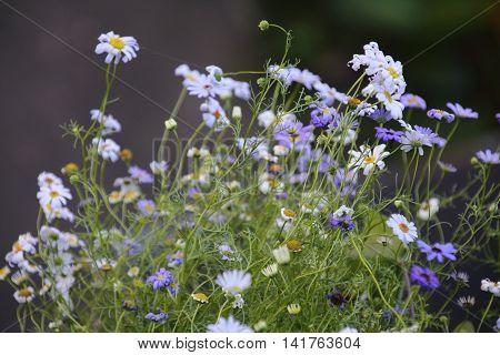 Purple Swan-river daisy , Brachycome iberidifolia, in the garden