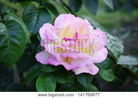 Pink tea rose, close up