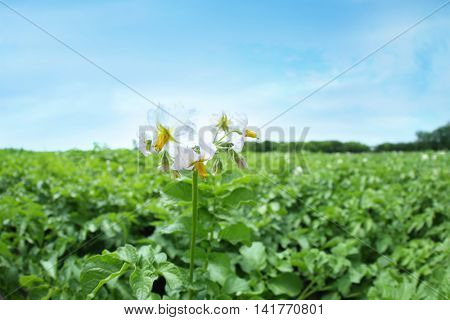 Blooming potato bushes in the field