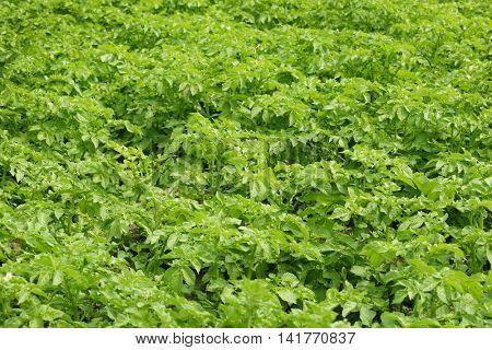 Potato bushes in field
