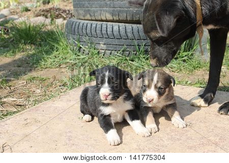 dog puppy caring mother two little brothers