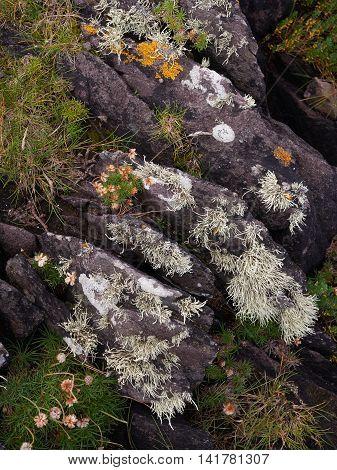 Plants and lichen on black rocks near the sea
