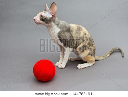 Cat breed Cornish Rex and ball of wool on a grey background