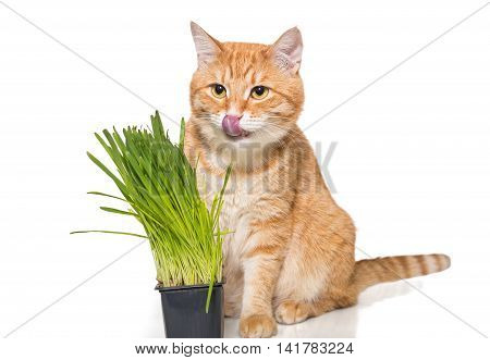 Red cat and green grass isolated on white