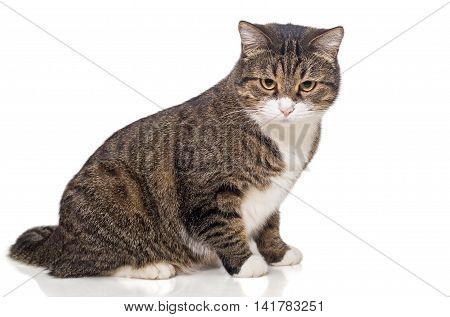 Big fat grey cat side view isolated on white