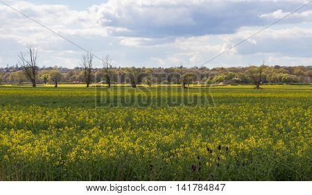 Essex country walk. Taken near Abridge on farmland with rape blossom in profusion