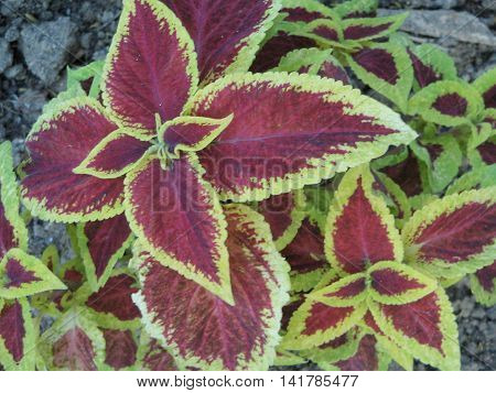 Cóleo. Planta ornamental  con  hermosas hojas de colores