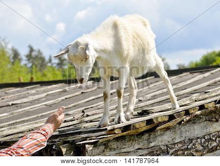 Funny goat standing on barn roof on country  farm and eating treats from human hand. Cute  white young goat on a background of blue sky. Goat farm