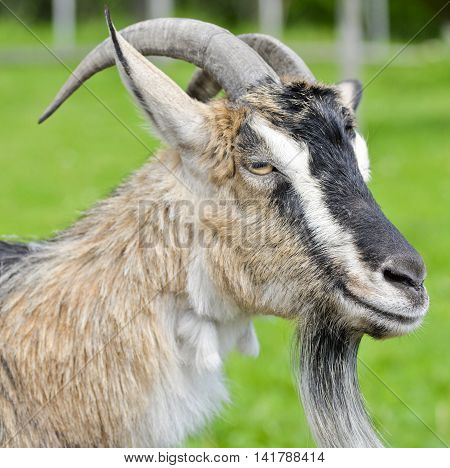 The portrait of funny smiling goat on background of green grass on the goat farm