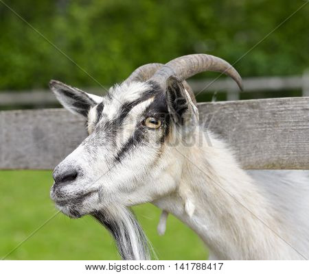 The portrait of funny goat with  beard on background of green grass on the goat farm. White female goat on a background of wooden fence and greenery
