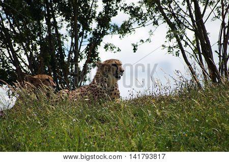 Cheetahs ( Acinonvx jubatus ) lying in grass