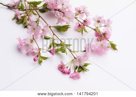 Aerial View Pink Japanese Prunus Serrulata Branches On White Background