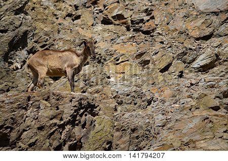 Ibex ( Capra caucasica ) in the rocky terrain