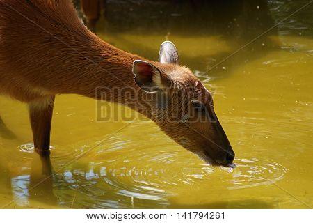 Female sitatunga antelope ( Tragelaphus spekeii ) drinking water