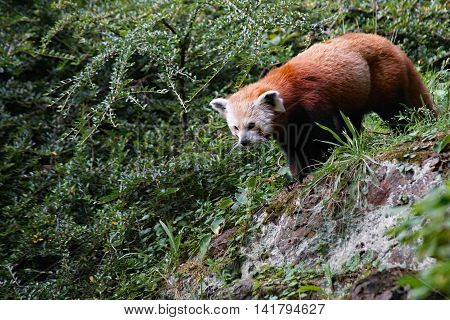 Red Panda Bear ( Ailurus fulgens fulgens ) walking along