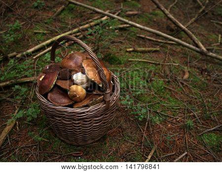 Wild porcini mushrooms in handmade wicker basket on wooden background closeup