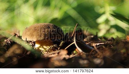 Cep mushroom growing in autumn forest. Boletus
