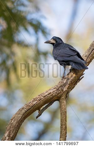 Lonely crow is sitting on a branch