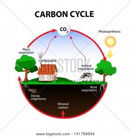 carbon cycle. The carbon path from the atmosphere into living organisms then turning into dead organic matter and back into the atmosphere.