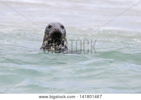 A gray seal popping it's head out of the water to look at the camera.
