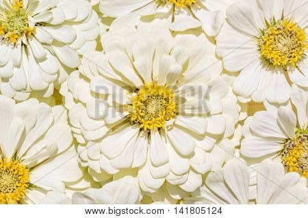 Background from inflorescences of white zinnias close up