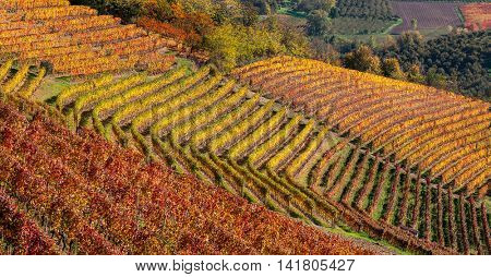Colorful autumnal vineyards in row on the hill in Piedmont, Northern Italy.
