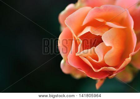 A single orange rose in a garden