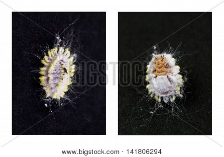 Top and belly view of a Mealybug an unarmored Scale insects of the order Hemiptera found in moist warm climates. They are considered pests as they feed on plant juices and also act as a vector for several plant diseases.