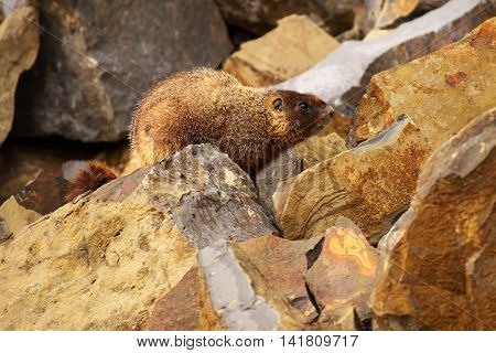 A Yellow-bellied Marmot Atop A Rock In Yellowstone National Park