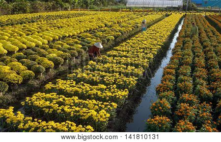 flower field, Sadec, Dong Thap Province, Vietnam, in the spring