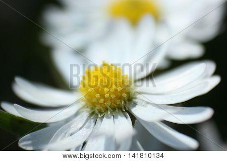White daisies basking in the bright sun shine