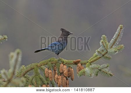 Stellar's Jay in a Coastal Forest in Chilkoot State Park in Alaska