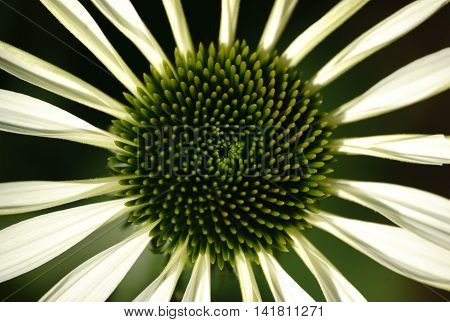 The plan view and close-up of the green flowering Green coneflower Echinacea purpurea.