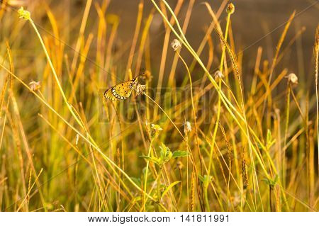 butterfly on grass flower and wide aperture technical photograph to give boke light