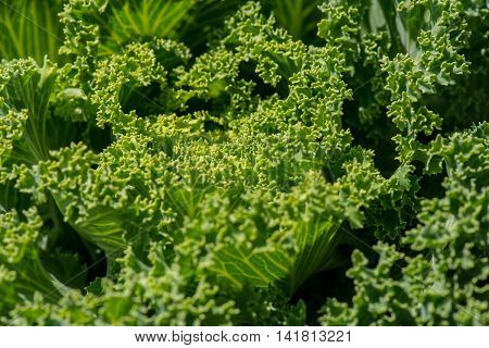 close up of a leaf of fresh organic kale with an interesting pattern and texture on top of the leaf
