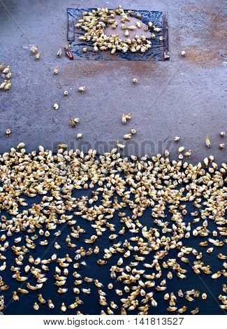 baby ducks, the Tam Giang, Hue, Vietnam