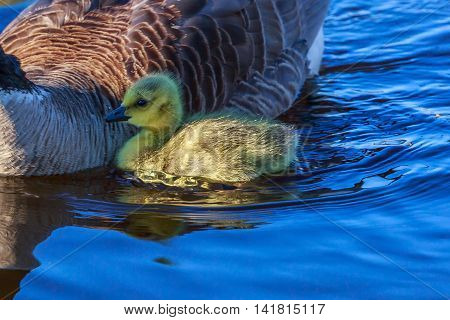 An adorable baby Canadian goose swimming with mother.