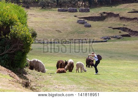 Tourist Photographing Llamas And Alpacas