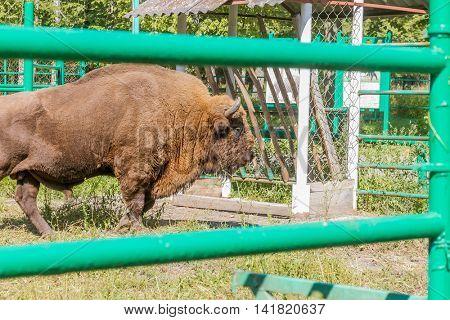 European bison (Bison bonasus) on farm, natural background