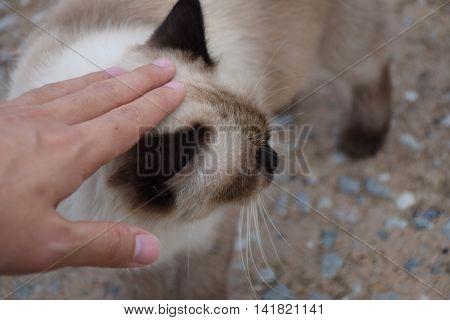 pat white Thai cat head. cute animal.
